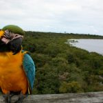 Blue-and-yellow Macaw (Ara ararauna). Greenpeace document a number of geographical areas in the Amazon, looking at the impacts of deforestation on various aspects of forest life. They look at people, natural wildlife and the landscape which has drastically altered as huge areas are cleared to meet agricultural demand. Soya plantations are the leading cause of deforestation in the region.